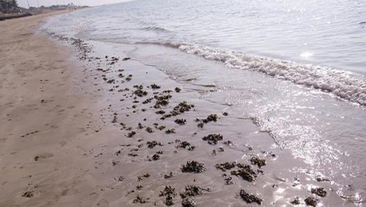 گلوله شکلاتی يا لکه های آلوده به ترکيبات نفتی در سواحل قشم، لارک، هنگام